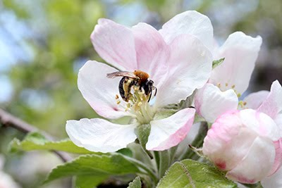 Photo by David Kleijn: Bee on blossom fruit tree.